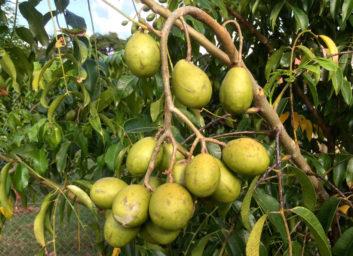 La prune de cythère